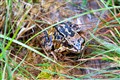 Moorland Common Frog.
