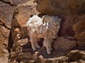 moutain goats (1 of 1)
