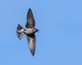 Female Purple Martin flyby