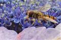 Wasp fly on a hydranga
