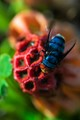 We found this blue fly on a red stinkhorn mushroom