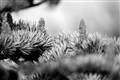 silverfir cones