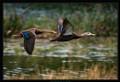 Mottled ducks flying over the water