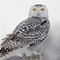 snowy owl, juvenile on post after flying over me