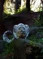 Snow Leopard Stare Down