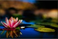 Mojave Lotus