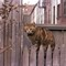 Bklyn_Cleo on a fence: Taken in Brooklyn in the early 1970's