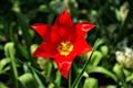 Star Tulip