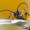 Beetle - Rutpela maculata (Black-and-Yellow Longhorn Beetle) 210704 (2)