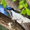 Blue Face Honeyeater 2 (1 of 1)