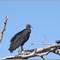 CR vultures_11