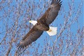 Mounds Park Eagle