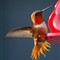 Rufous_male_hummingbird