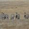 San Simeon free range Zebras (1 of 1)