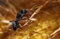 black harvester ant