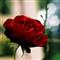 rose_square