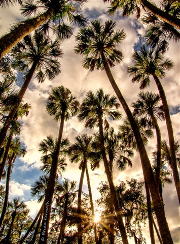Up through the cabbage palms (Sabal palmetto - Arecaceae) with low evening sun