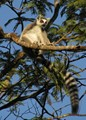 Ringtailed Lemur Madagascar