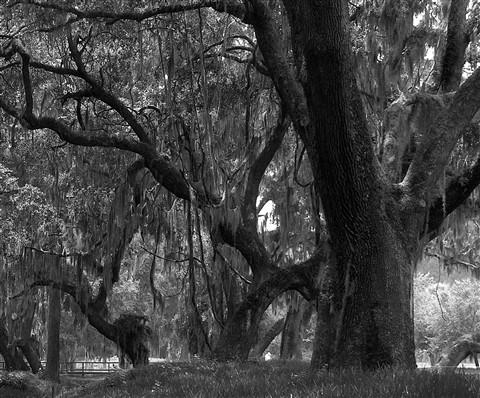 Savannah oak trees