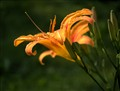 Tiger_Lily_img_1380a