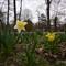 Daffodils WC