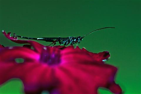 Black Mantis 2
