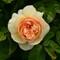 'Sweet Juliet' rose
