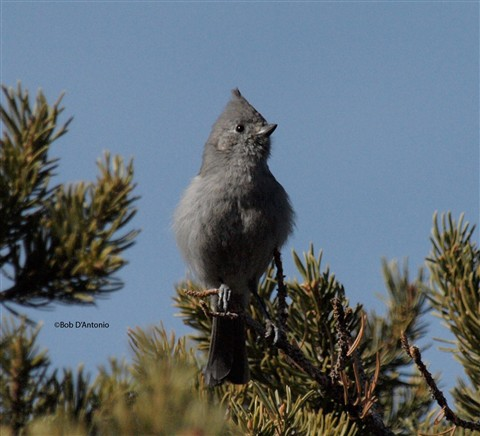 Juniper Titmouse 3-2-13