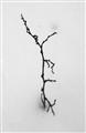 Fragile Twig