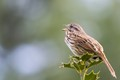 Song Sparrow welcomes the morning