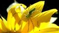 Sunflower Spider 8-08