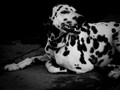 Sahara, my dalmation