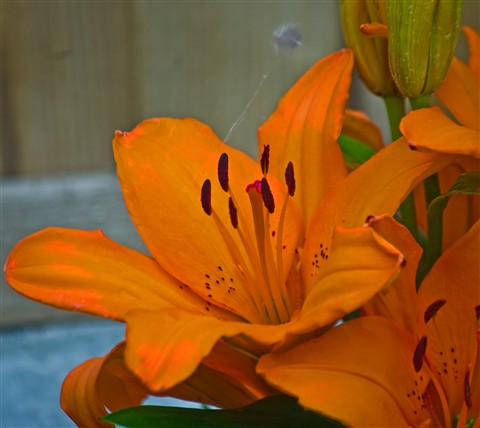 Orange lily-1