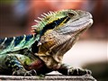 Dragon in the Brisbane botanical gardens