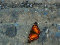 Midtown Butterfly