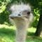 Bored Ostrich