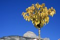 My tree, Dent de Crolles behind (Chartreuse - Bernin - France)