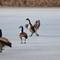 Geese on Ice original JPEG