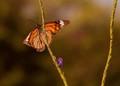 Orange-Monarch butterfly ,perching,on pink