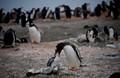 Mamma feeding baby - Antarctica