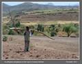 Ethiopian ploughman
