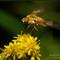 Bee Fly on Golden Rod