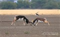 Black Buck Fighting