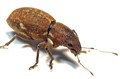 A weevil, possibly a Sitona species