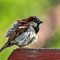 House Sparrow After Bathing