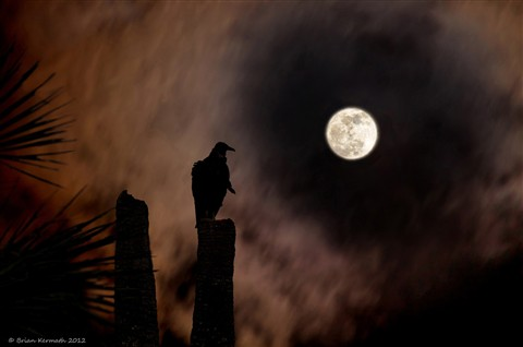 Black vulture (Coragyps atratus) on cabbage palm (Sabal palmetto) with moon at dusk