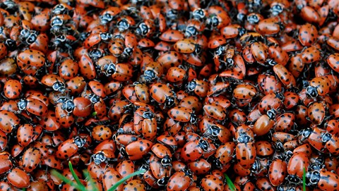 Ladybug 038 Crop