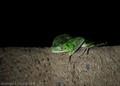 Frog. Ilidae