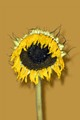 The sunflower represents the dying of the sun in Autumn (Fall).