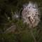 Common Milkweed (Aselepias syriaca)